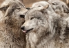Wolf Pictures 001